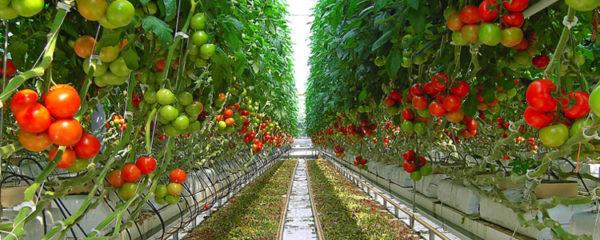 Serres à tomates